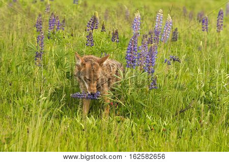 Coyote (Canis latrans) Sniffs at Lupin - captive animal