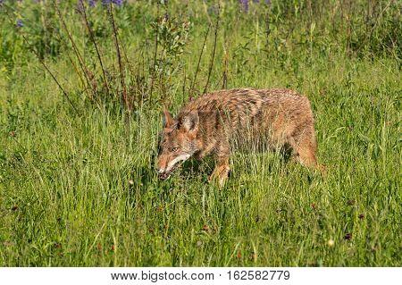 Coyote (Canis latrans) Creeps Through Grass - captive animal