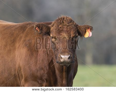 A Red Angus cow on a Minnesota Farm