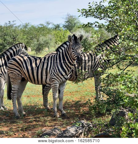 Damara zebras herd hiding from sun heat in the shade of bushes Equus burchelli Etosha national park Namibia