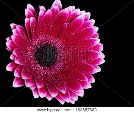 bright pink gerbera on black glass table
