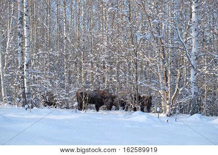 European bison herd (Wisent Bison bonasus) in winter forest. National park Ugra Kaluga region Russia. December 2016