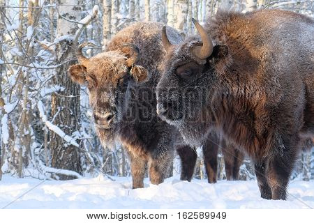 Two European bisons (Wisent Bison bonasus) in winter forest. National park Ugra Kaluga region Russia. December 2016