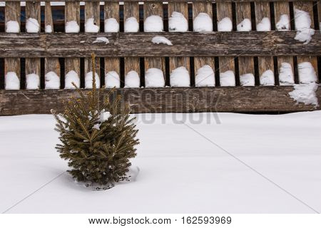 A small spruce tree seedling surrounded by snow against a wood board fence