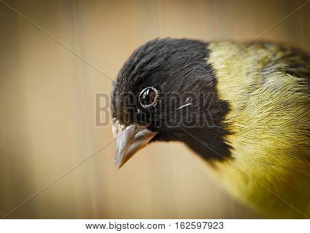 Goldfinch bird sideways drying in the sun