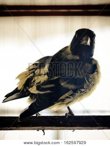 Goldfinch bird standing on a perch looking sideways
