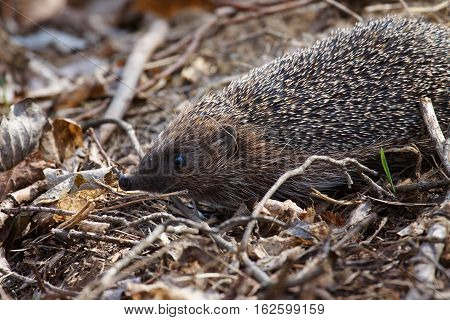 hedgehog in forest spring background. hedgehog crawling in the grass