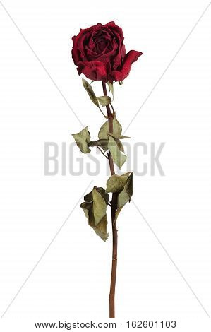 Red dried rose on a white background