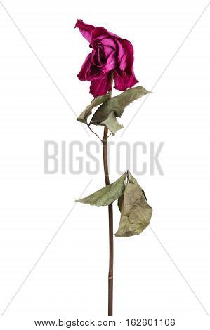 Pink dried rose on a white background