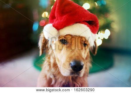 A portrait of a cute dog in a Santa hood. Dec 2016