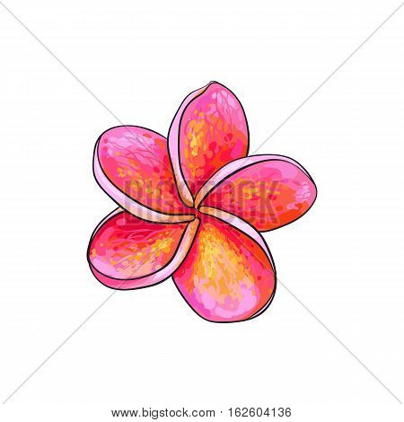 Single pink plumeria, frangipani tropical flower, sketch style vector illustration isolated on white background. Colorful realistic hand drawing of exotic, tropical frangipani or plumeria