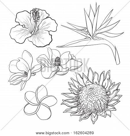 Tropical flowers - hibiscus, protea, plumeria, bird of paradise and magnolia, sketch style vector illustration isolated on white background. realistic hand drawing of exotic, tropical flowers