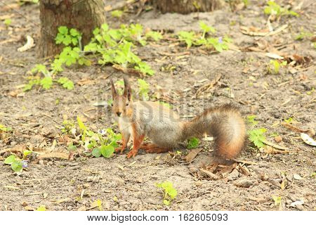 squirrel in the green bushes in the park