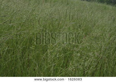 Dew Meadow