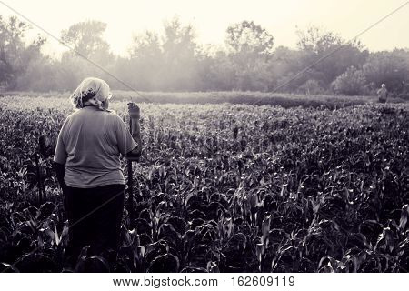 Mature woman standing in young corn on summer evening. Landscape with haze at sunset. Mystical surreal mood. Dialogue with stranger in mist. Toned black and white color processing. Nice soft warm light