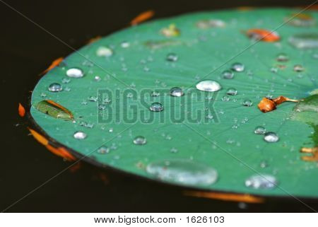 Lilly Pad With Rain Drops