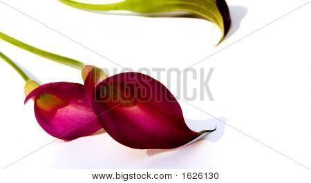 Calla Lilies (Zantedeschia Rehmannii)