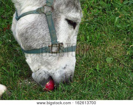 A donkey at a farm eating an apple.