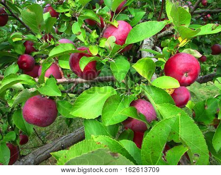 Cortland apples on a tree in an orchard
