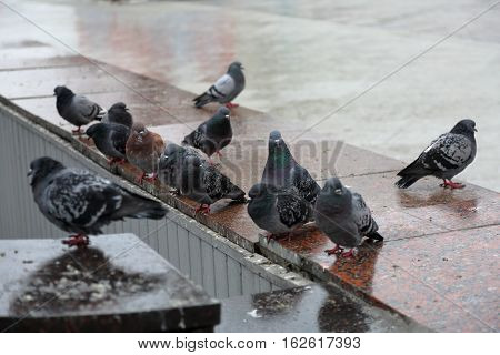 Urban Gray Pigeons