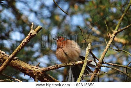 Common chaffinch, lat. Fringilla coelebs, enjoys the sunshine in spring sitting on brown leafless branches. Brightly coloured finch with blue-grey cap and back and rust-red underparts.