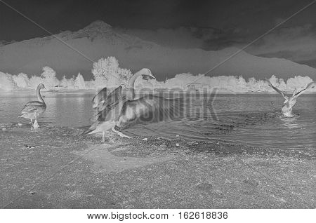 Negative ducks on Como lake, Film frame, black and white