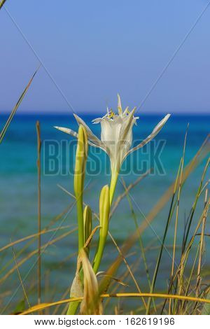 Summer wildflowers.Torre Guaceto Nature Reserve: Pancratium Maritimum, or Sea Daffodil. BRINDISI (Apulia)-ITALY-Mediterranean maquis: a nature sanctuary between the land and the sea.