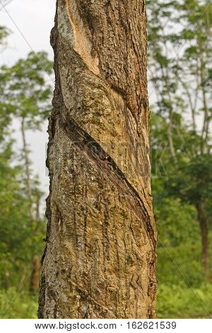 Rubber with slash cuts for harvesting on a plantation in Assam India