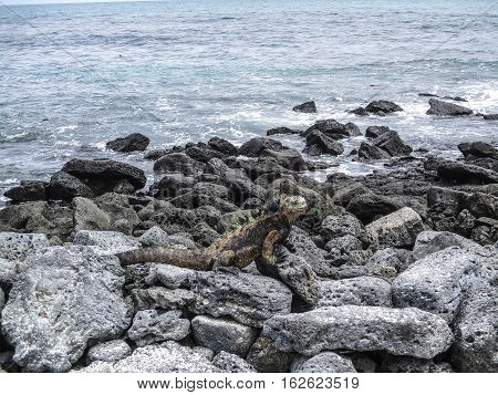 marine iguanas on a rock at Galapagos islands