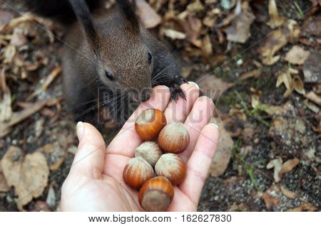 Squirrel with dark fur and a bushy tail eating nuts from the palm of your hand