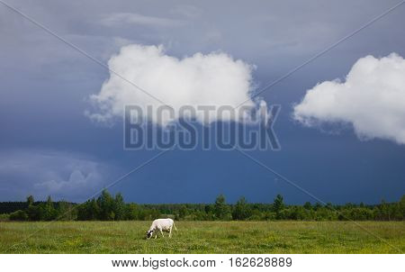 Summer landscape cloudy white clouds over the field a white cow in a meadow green grass