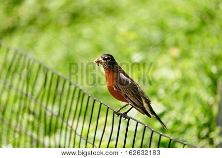 bird with a red redstart Beautiful of Daurian Redstart Bird standing on a branch in nature keeps the mouth caterpillar