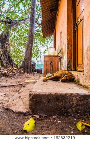 Wild dog sleeping on the ground, India