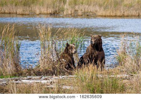 Alaska brown bear mother and cub on the bank of the Brooks River lagoon