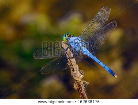 Male blue dasher (Pachydiplax longipennis) dragonfly on the tip of a twig. Bokeh background.