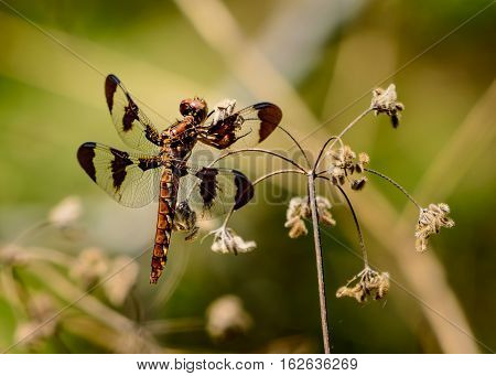Female twelve-spotted skimmer (Libellula pulchella) resting on a strand of Hackelia virginiana also known as 'begger's lice'.