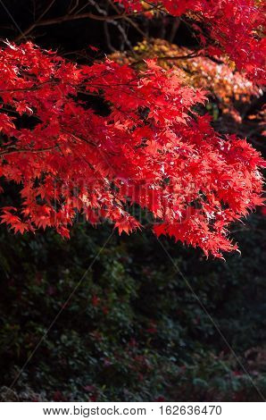 So Beautiful Autumun leaves in Kamakura City