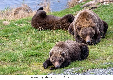 Alaska brown bear mother and cubs on the bank of the Brooks River lagoon