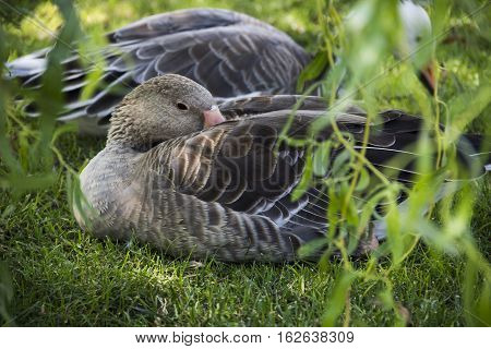 close-up greylag goose (anser anser) resting at the grass