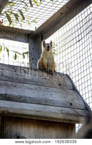 red squirell (Sciurus vulgaris) in the cage
