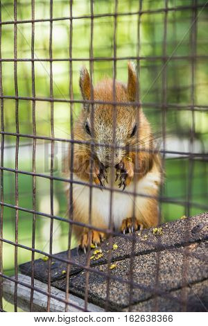 close-up red squirell (Sciurus vulgaris) eat the barberry in the cage