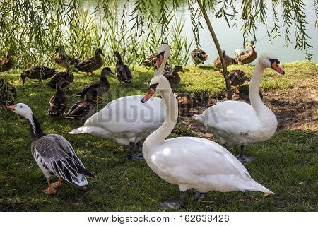 white swans and wild ducks at the ponds coast