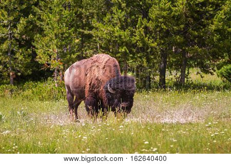 Single Bison Grazing in Yellowstone National Park United States