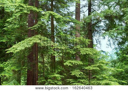 Close-up picture showing lush green trees in the middle of a forest in Vancouver Canada