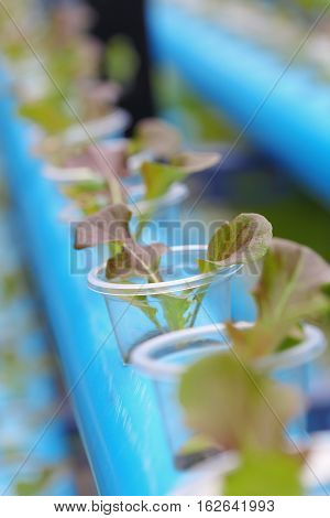 Young red batavia lettuce hydroponics vegetable farm in Thailand.