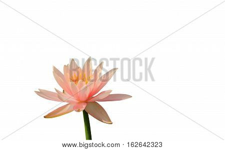 Pink lotus or pink water lily isolated on white clipping path.
