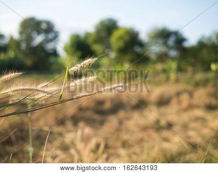 Selective focus desho grass Pennisetum pedicellatum with blurred nature behind