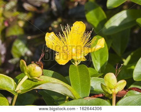 St. John's Wort or Yellow Rose of Sharon Hypericum calycinum flower close-up selective focus shallow DOF