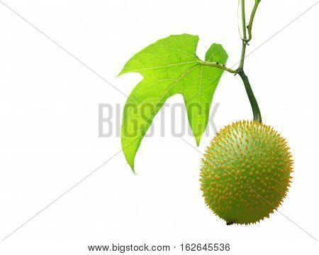 Gac isolated on white with clipping path Baby jackruit Spiny bitter gourd Sweet grourd or cochinchin gourd. Very delicious and medicinal properties