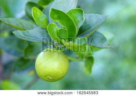 Close up of young green organic lime citrus fruit on tree.